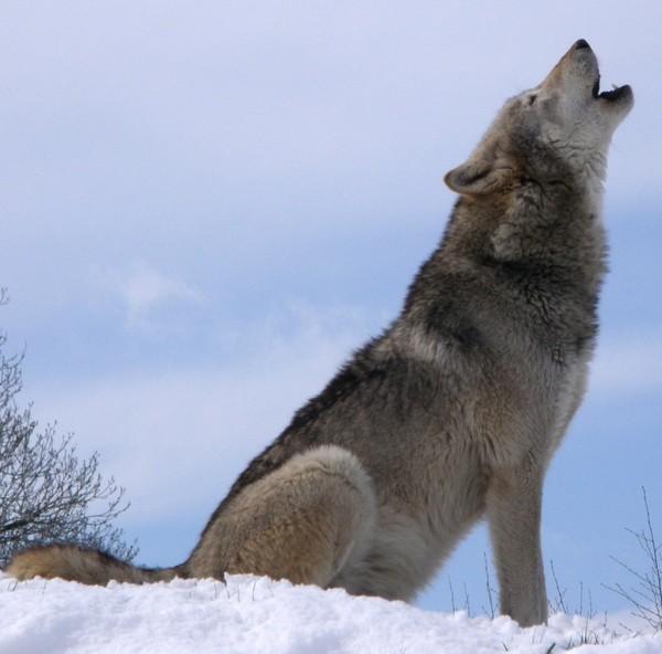 Punish Man for Brutally Murdering Wolves